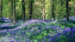 Bluebells in The Royal Forest of Dean